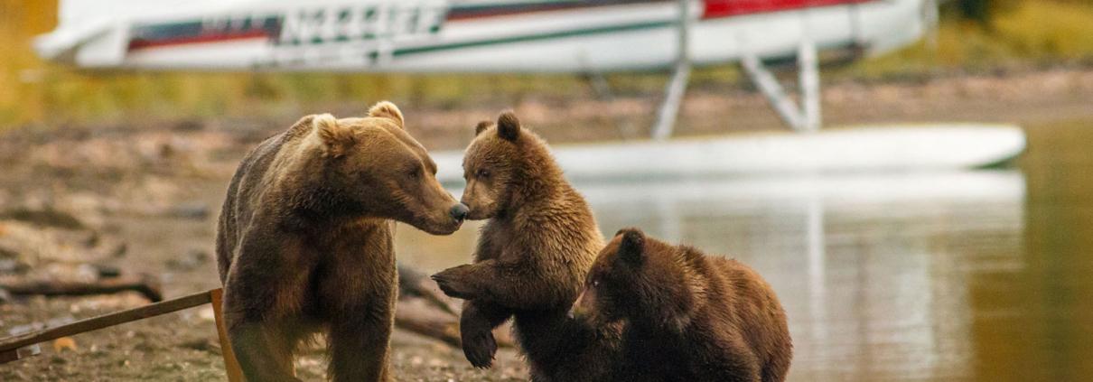 Weltreise Alsaka Braunbär