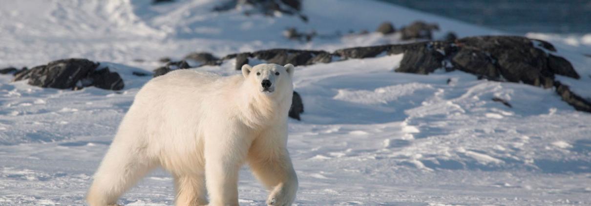 Weltreise Alsaka Eisbär